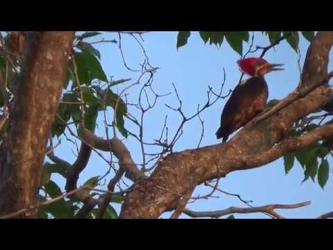 Canto de pássaros, Pica pau de topete vermelho, Coisas da roça,