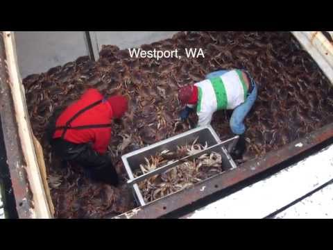Dungeness Crab 2013 Part 2