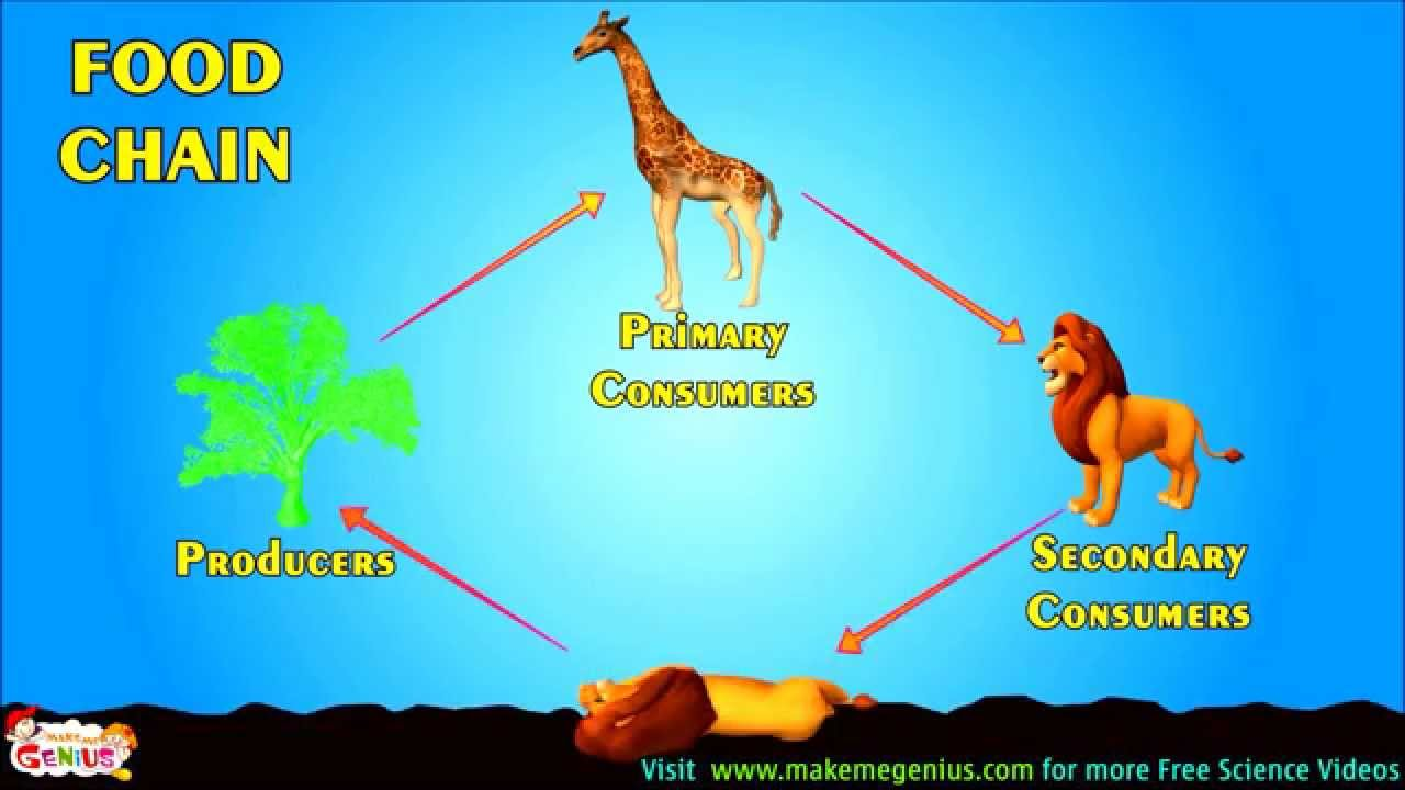 Food Chains Food Webs Energy Pyramid Education Video