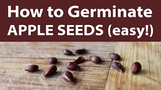 How to Germinate Apple Seeds Quick and Easy (TCEG Episode 4) (Day 12 of 30)