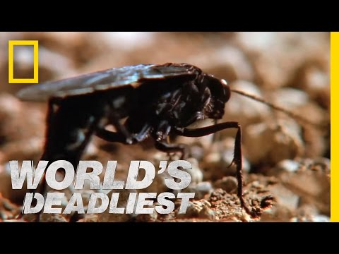 World's Deadliest - Hairy Spider vs. Wasp