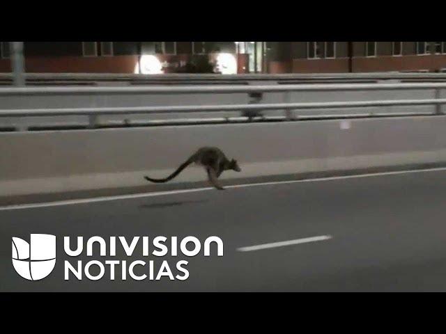 La odisea para atrapar un marsupial que saltaba por el puente de la bahía de Sídney