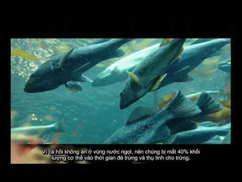 di cư của cá hồi.avi