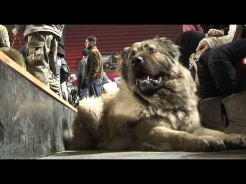 Georgia: Two Worlds of the Caucasian Sheepdog