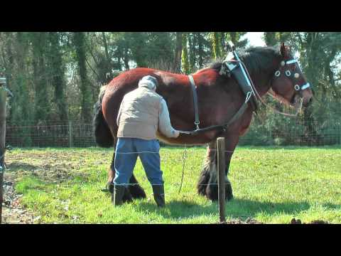 Strong and Well Trained Belgian Draft Horse at work