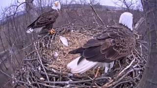 Eagle cam: Eagles swap places after egg hatches at Codorus State Park, Hanover, PA