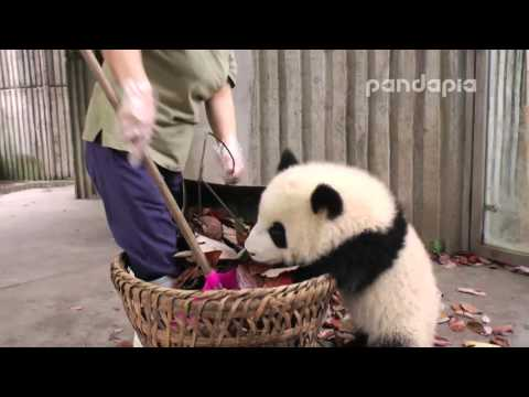 "Panda cub and nanny's ""war"""