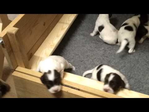 Brambles puppies 12 days old