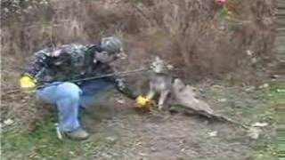 Little Pine Coyote **Released** Trapping Hunting