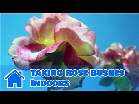 Indoor Gardening Tips : Taking Rose Bushes Indoors