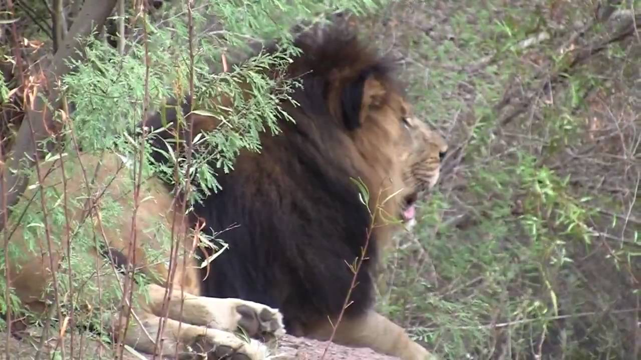 African Lions At Phoenix Zoo Youtube