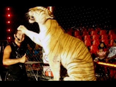 Tigre mata a su domador en función circense. Nuestro Día