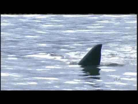 Cuidado com o Tubarão na Lago- Silvio Santos title=