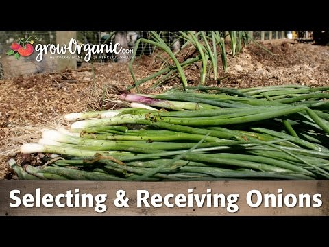 Selecting Onions, Ordering And Receiving Your Onion Transplants