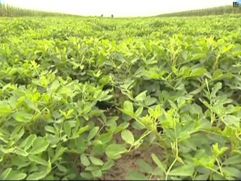 Imported GM soybeans flood Chinese market