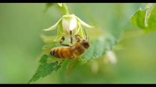 HONEY BEES 96fps IN 4K (ULTRA HD)
