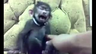 Monyet gila blue