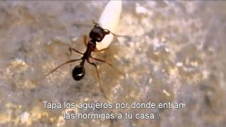 ¿Cómo eliminar las hormigas de la casa?