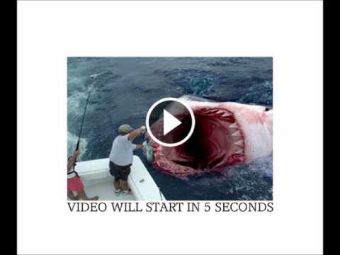 uncut video great white tears captain apart in seconds