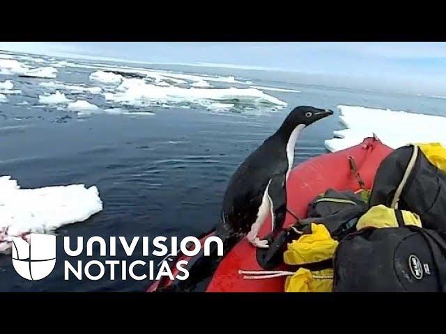 VIRAL: El pingüino que supervisa el trabajo de un equipo australiano en la Antártida