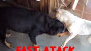 All comments on Pitbull x Rottweiler.mp4 - YouTube