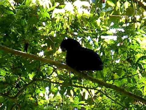 Bare-nacked Umbrellabird