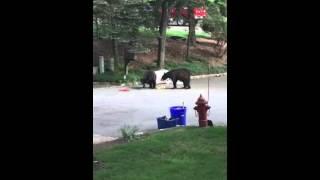 Dua Beruang Saling Tinju Di Pinggir Jalan