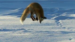 Fox Dives Headfirst Into Snow | North America