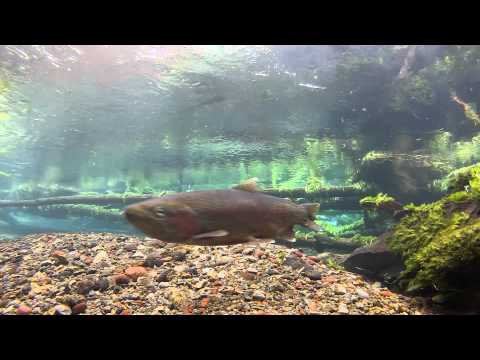 UW HD Trout aquarium (its a real river)- watch a trout take a lure on underwater HD camera!!