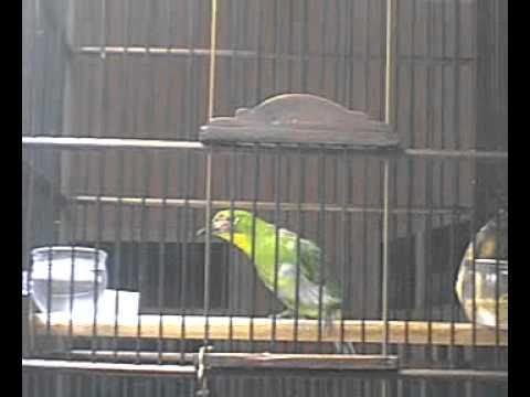 cucak hijau malang (2)