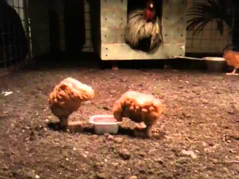 the truth about the chicken nugget New video shows how mcdonald's mcnuggets are  the misinformation and tell the truth about this  fascination with chicken nuggets.