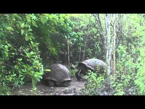 Giant Tortoise Displays Dominance in the Galápagos