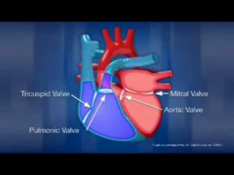 Intro To The Cardiovascular System