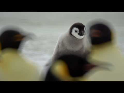 Emperor Penguins, Snow Hill  2013