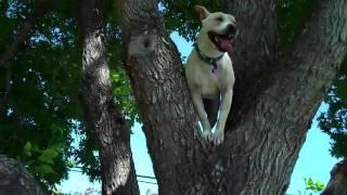 Pies, który potrafi wejść na drzewo