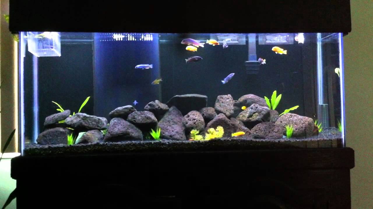 55 Gallon Mbuna African Cichlid Fish Tank - YouTube