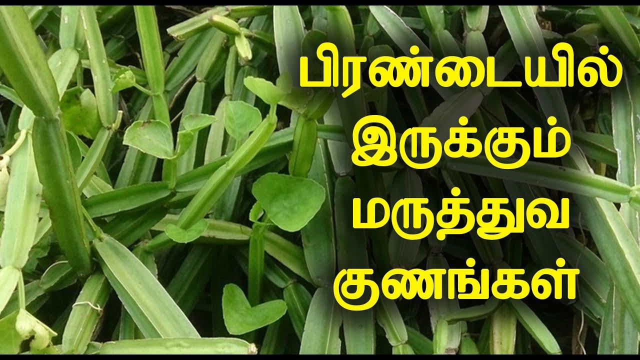 பிரண்டையில் இருக்கும் மருத்துவ குணங்கள்   Medicinal Benefits of Pirandai