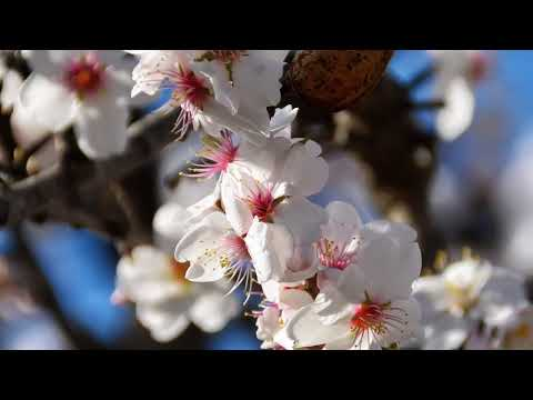 Die andalusische Mandelblüten Zeit