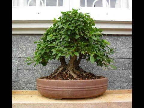 Bonsai Yamadori - Retirada de Azaléa do chão - 09