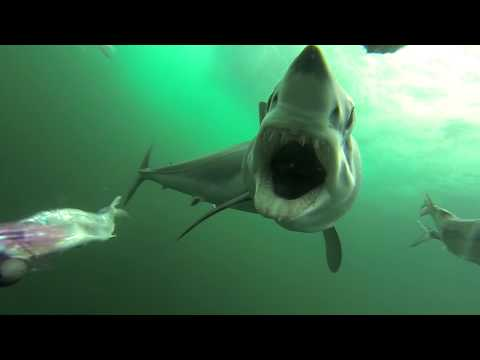 Mako shark attacking a PelagicView dredge