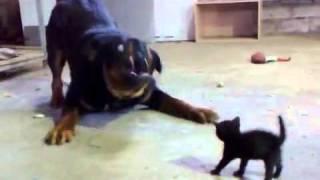 חתול קטן נגד רוטווילר