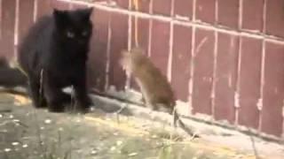 Tikus ini berani nyerang kucing
