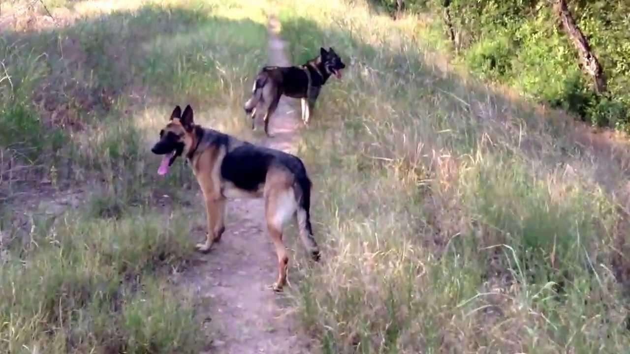 German shepherd and wolf hybrid - YouTube