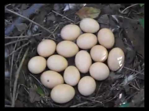 Gallina clueca, primera 2013. - YouTube