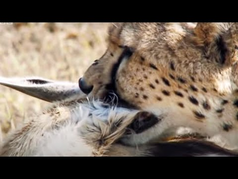 Cheetah chases Gazelle - Inside the Perfect Predator - BBC, Cheetahs live on the plains of Africa and are the world's fastest land animal. This clip shows stunning footage of a female Cheetah chasing a Gazelle at seventy miles an hour.