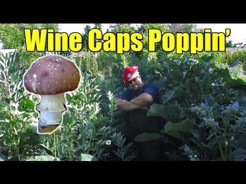 Exciting Mushroom Update! Wine Caps A Poppin'!