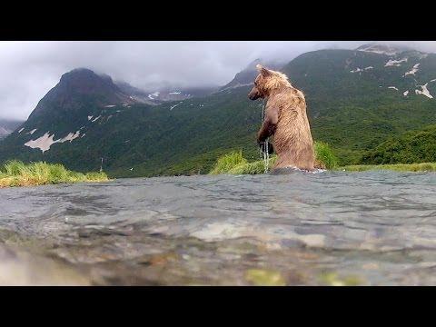 Le grizzly qui mange la caméra