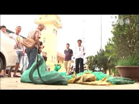 VTC14_Hà Nội: bắt giữ vụ vận chuyển 1,6 tạ rắn hổ mang chúa