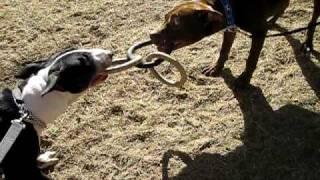 BULL TERRIER VS. PIT BULL
