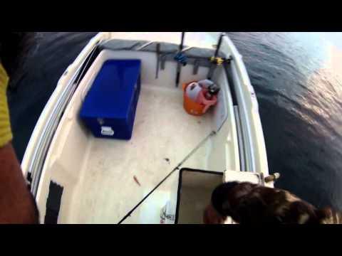 Καλαμάρια σε ψάρεμα απίκο.